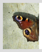 European Insects: peacock butterfly basking on wall
